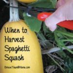 When to Harvest Spaghetti Squash