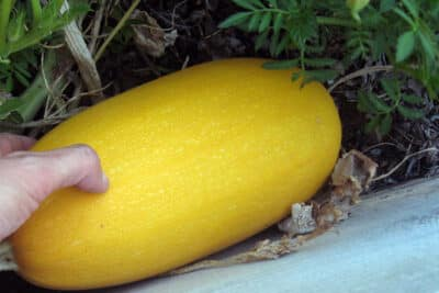 When to harvest spaghetti squash: BrownThumbMama.com