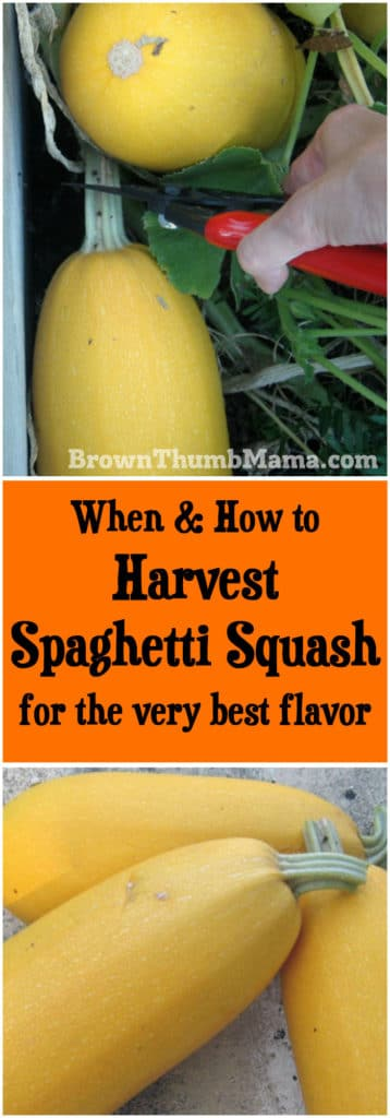 When and how to harvest spaghetti squash for the very best flavor: BrownThumbMama.com