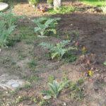 How to Divide Artichoke Plants