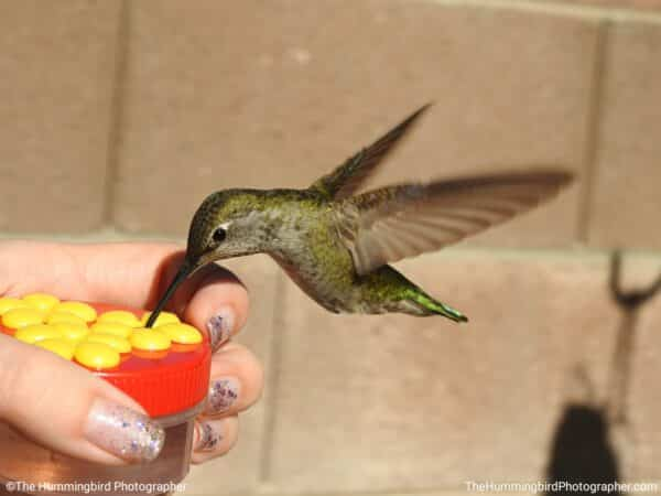 hand feeding hummingbird