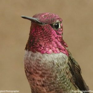 closeup of hummingbird with magenta head and throat feathers
