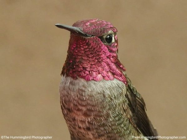 You can make hummingbird food with two items you already have in your kitchen. Plus important tips on what you should NEVER feed to hummingbirds! #hummingbird #hummingbirdfood #hummingbirdfeeder #hummingbirdnectar #birds #birdwatching