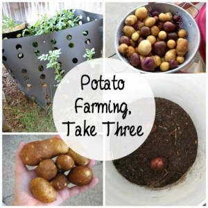 Potato Farming, Take Three: BrownThumbMama.com