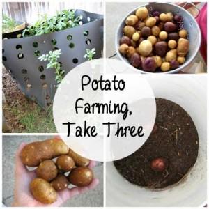 Potato Farming, Take Three: BrownThumbMama.com
