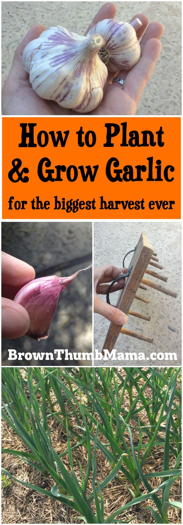 how to plant and grow garlic brown thumb mama. Black Bedroom Furniture Sets. Home Design Ideas