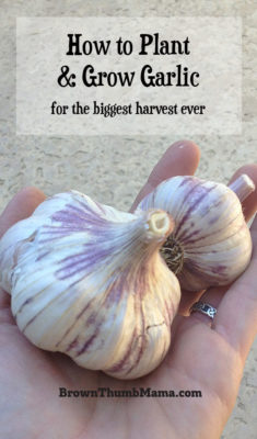 How to plant and grow garlic for the biggest harvest ever: BrownThumbMama.com