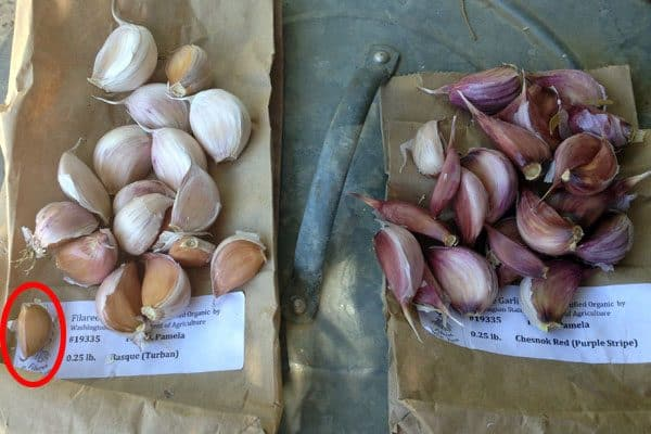 garlic prepped for planting