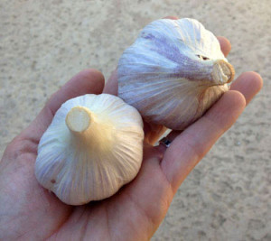 How to Plant Garlic: BrownThumbMama.com