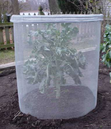 Keep cabbage worms off your broccoli, cauliflower, and cabbage: BrownThumbMama.com
