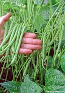 5 Best Container Vegetables: BrownThumbMama.com