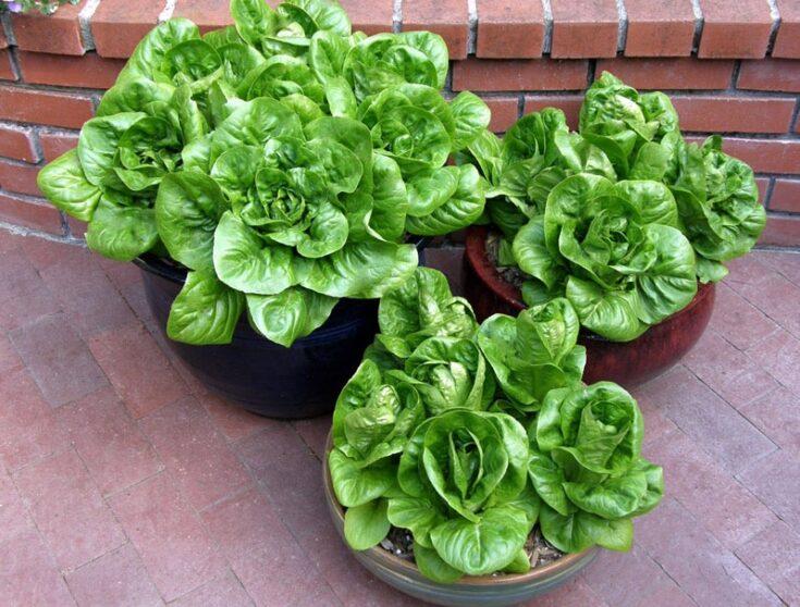 """""""Jade Gem"""" Lettuce"""