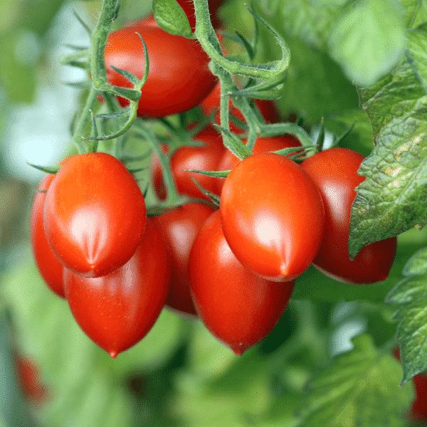 roma tomatoes on vine