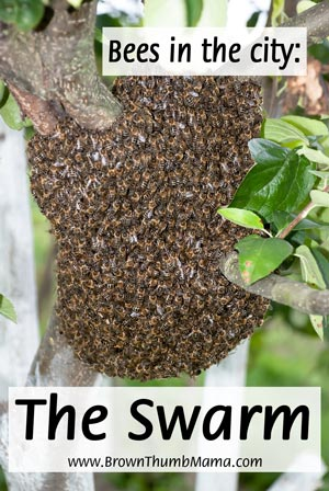 Keeping Bees in the City: The Swarm - Brown Thumb Mama