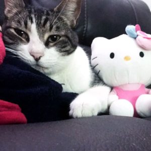 gray and white cat on couch with hello kitty toy