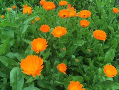 Make Calendula-Infused Oil for Natural Healing: BrownThumbMama.com