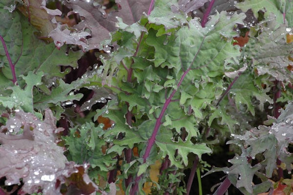 'Red Winter' Kale