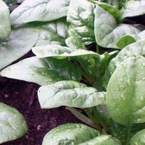 baby spinach plants in garden