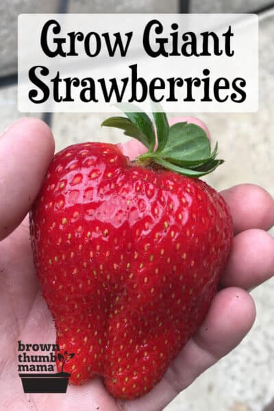 hand holding giant strawberry
