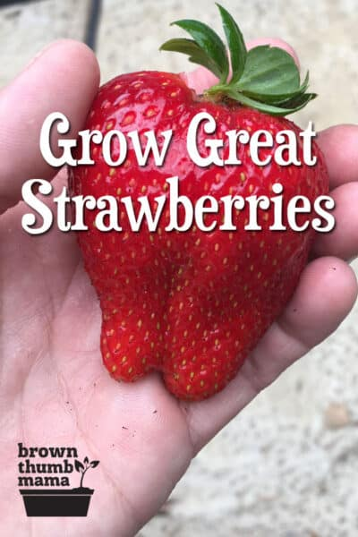 Strawberries are super-easy to grow, but there are a few important tips to keep in mind. Here's everything you need to know to grow gallons of strawberries in your garden. #gardening #organicgardening #growingfruit #kidsgarden