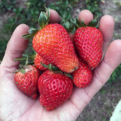 Strawberries are super-easy to grow, but there are a few important tips to keep in mind. Here's everything you need to know to grow gallons of strawberries in your garden.