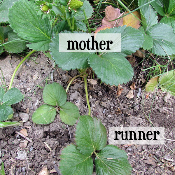 strawberry mother plant and runner