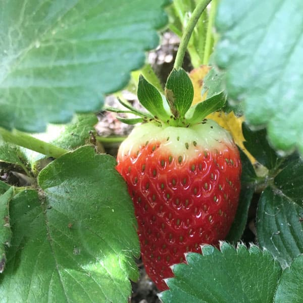 nearly ripe strawberry