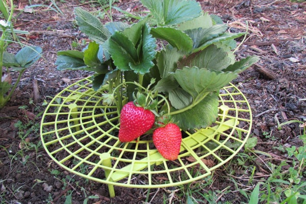 Strawberry plant with support underneath