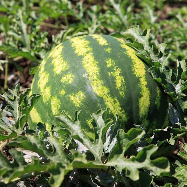 ripe watermelon in field
