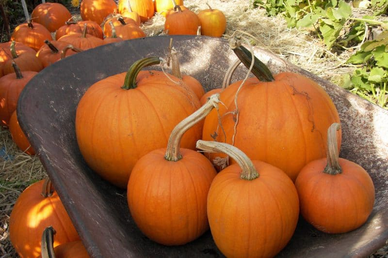 It's easy to grow and harvest perfect pumpkins—whether you want tiny, decorative pumpkins, giant, prize-winning pumpkins, or jack-o-lanterns for carving.