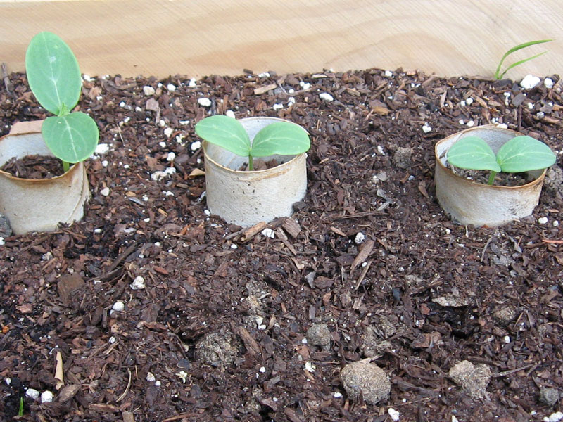 seedlings inside toilet paper tube forts