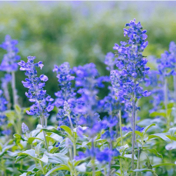 blue salvia growing in field