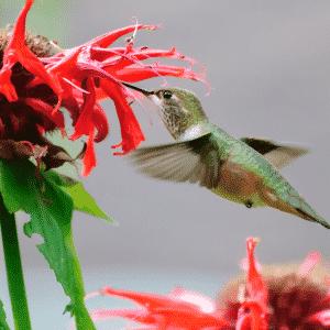 hummingbird drinking from flower
