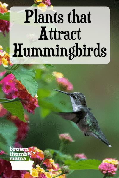 hummingbird drinking from lantana
