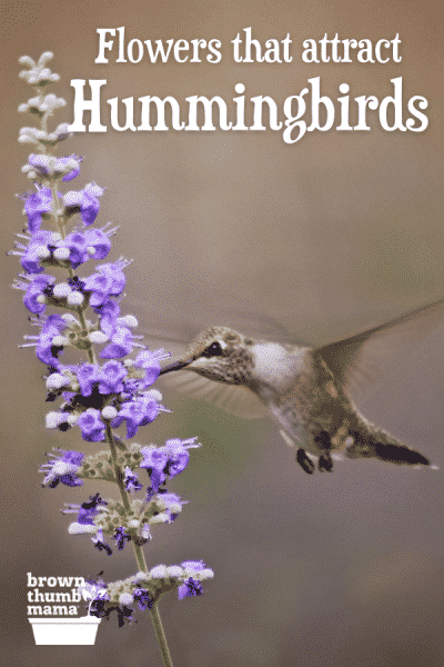 hummingbird drinking from lavende