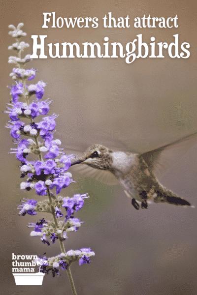 hummingbird drinking from lavende