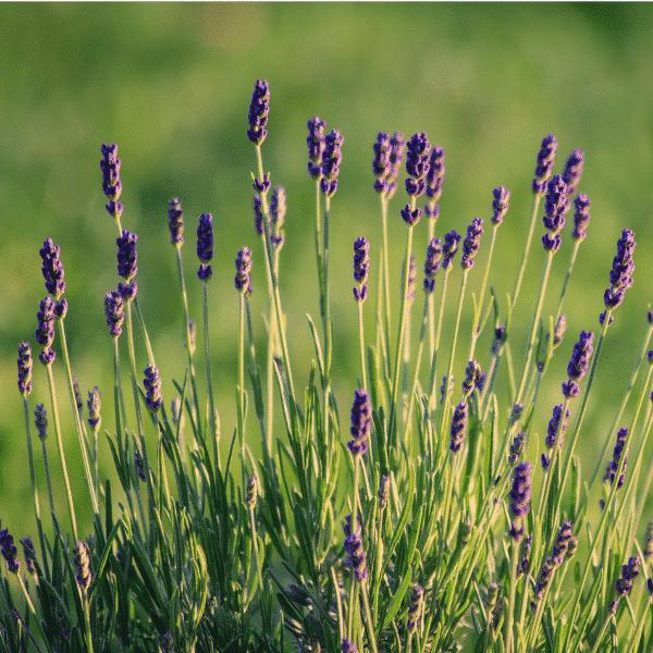 munstead lavender growing in field