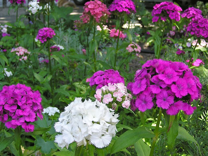 Here are the best plants to include in your garden to attract butterflies and hummingbirds. I've also included my favorite varieties of each one. Happy gardening!
