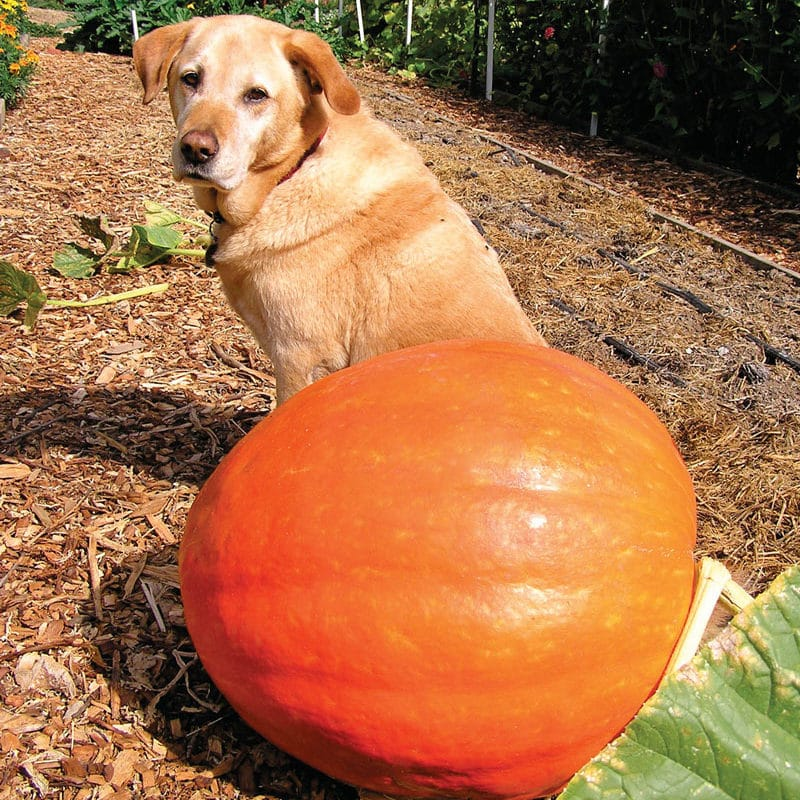 Grow & Harvest Perfect Pumpkins