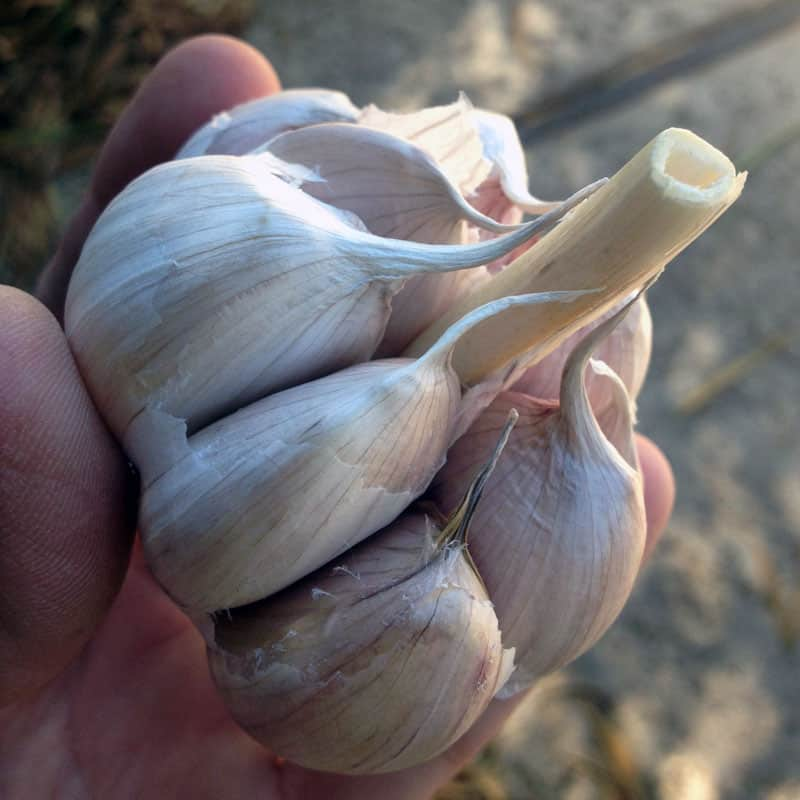Choose the Best Type of Garlic for Your Garden