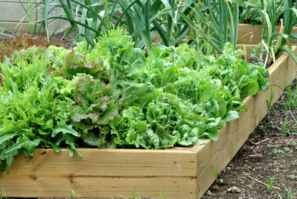raised bed with lettuce and onions