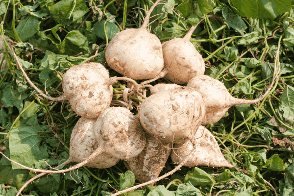 freshly picked jicama in the field