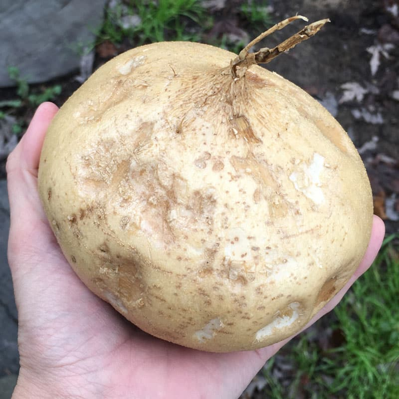 How to Grow Jicama