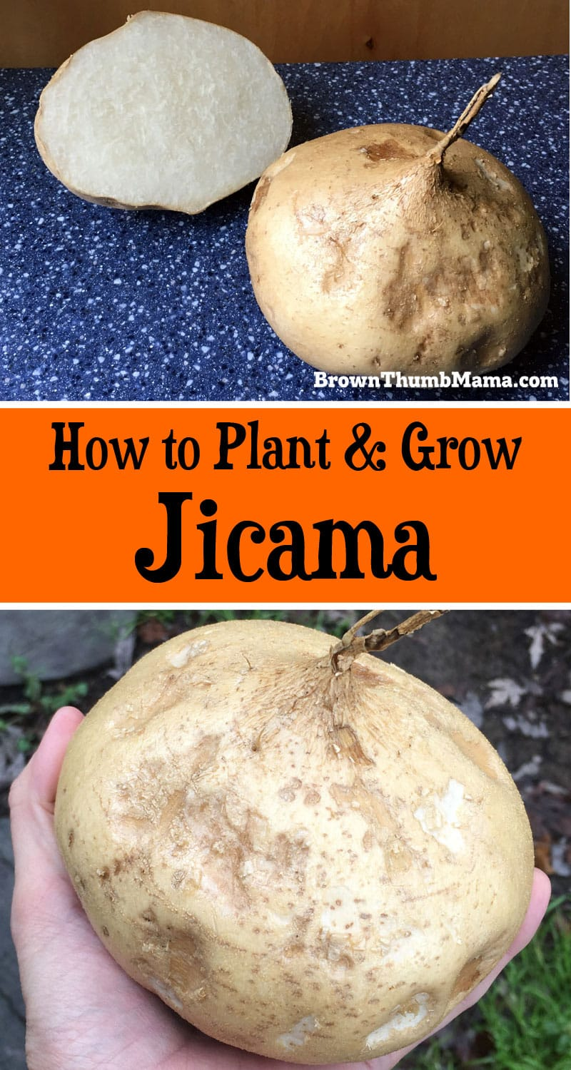 Jicama (pronounced hick-uh-mah) is a mild, crunchy root vegetable that's easy to grow and great for snacking. Here's everything you need to know, to plant and grow jicama in your garden!