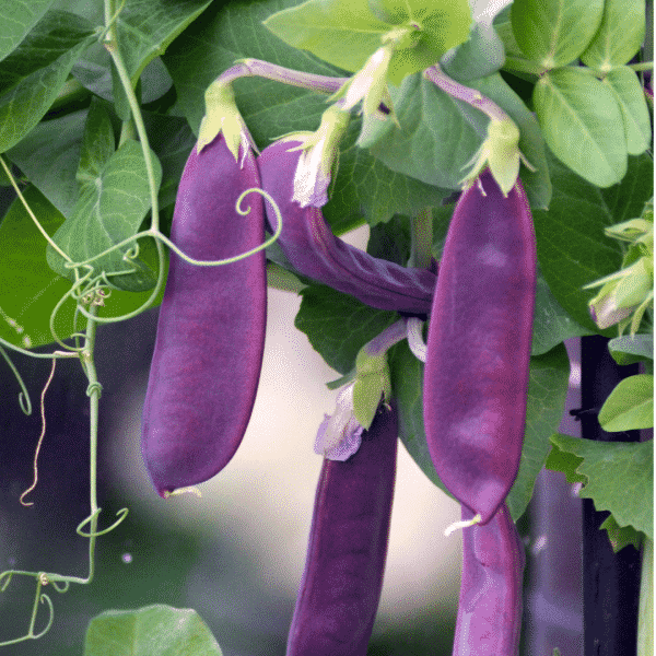 purple snow peas on vine