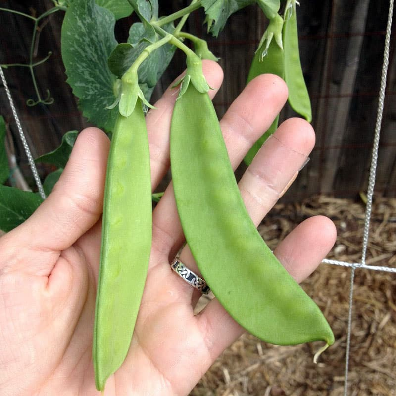 hand holding double set snow peas