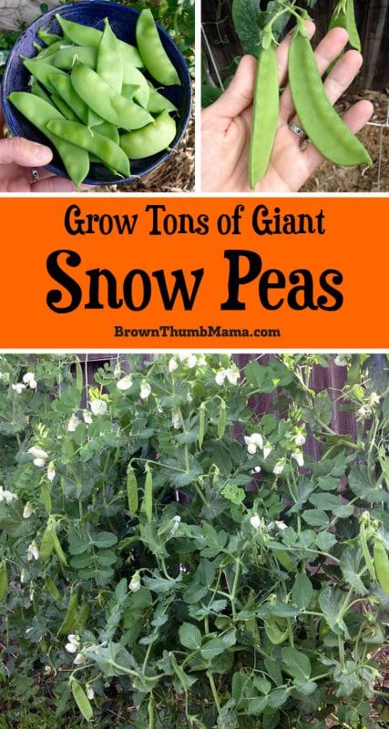 Snow peas are easy to grow and fun to eat. Here's everything you need to know about planting and growing snow peas in your garden. #gardening #organicgardening #growyourown #peas #snowpeas #brownthumbmama