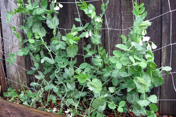 Snow peas are easy to grow and fun to eat. Here's everything you need to know about planting and growing snow peas in your garden.