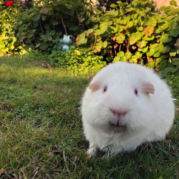Jackjack the guinea pig on the lawn