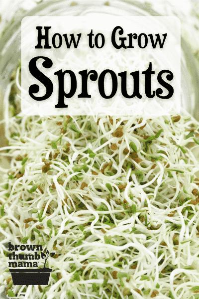 jar of alfalfa sprouts